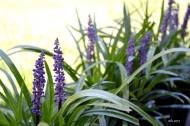 Liriope Purple lily turf - 2017 -sm