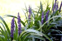 Liriope Purple lily turf - 2017 -sm