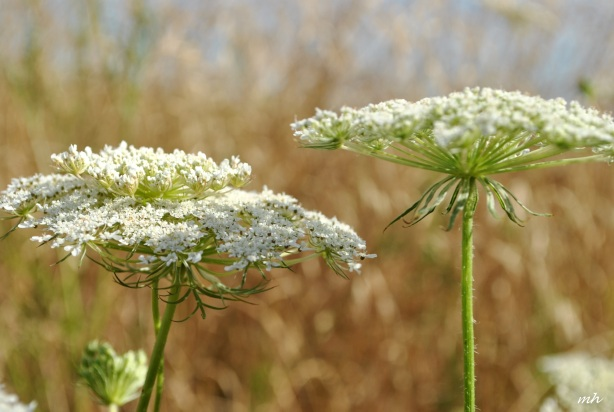 queen-annes-lace-flower-2014-6