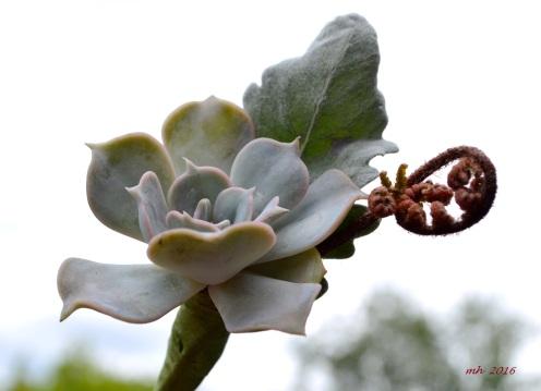 Succulent mint -1a