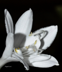 White Hosta flower 2017 - -.