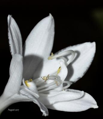 White Hosta flower 2017 - -.