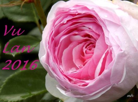 English Garden Rose  (1)