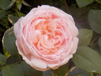English Garden Rose  (1a)