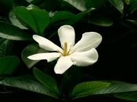 Gardenia Resinifera (2)