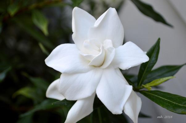 Gardenias 2016 -1Ha