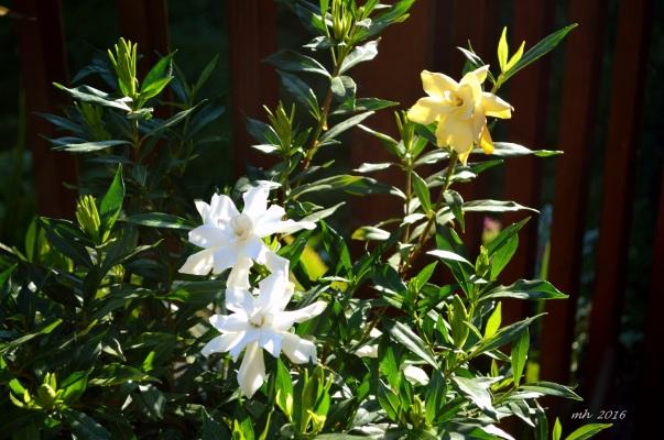 Gardenias 2016 -4