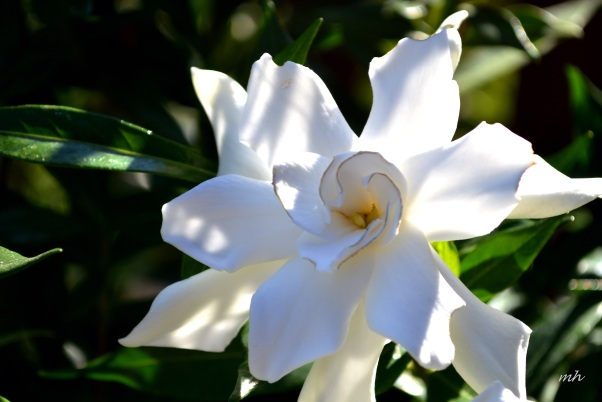 Gardenias 2016 -6