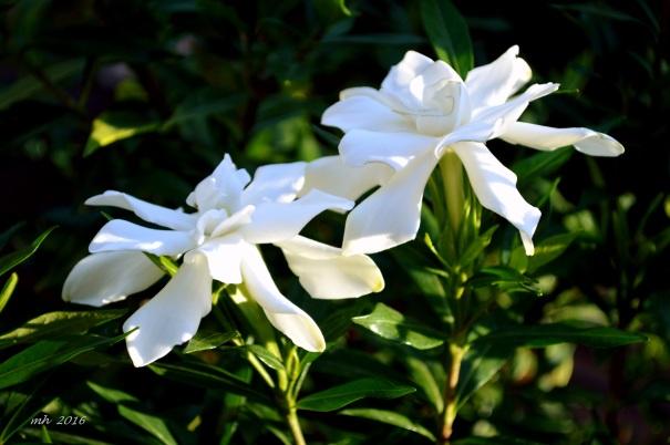 Gardenias 2016 mh (2)