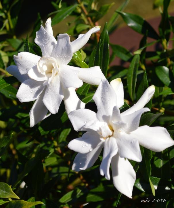 Gardenias 2016 mh (3)