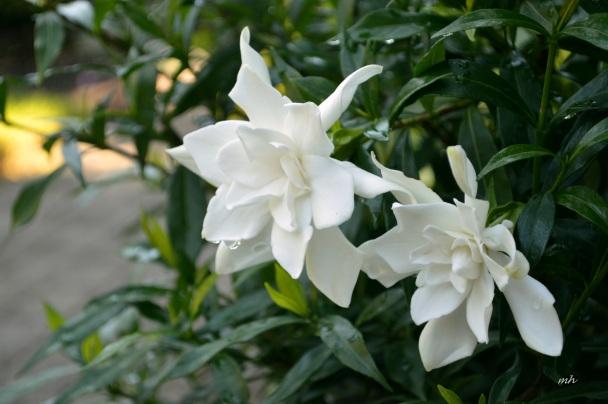 Hoa Danh Danh 2016 -A (2)