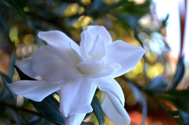 Hoa Danh Danh 2016 -A (3)