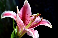 Lily 2016-3
