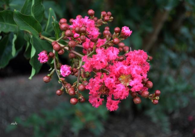 Hoa Tu Vi hot pink 2016