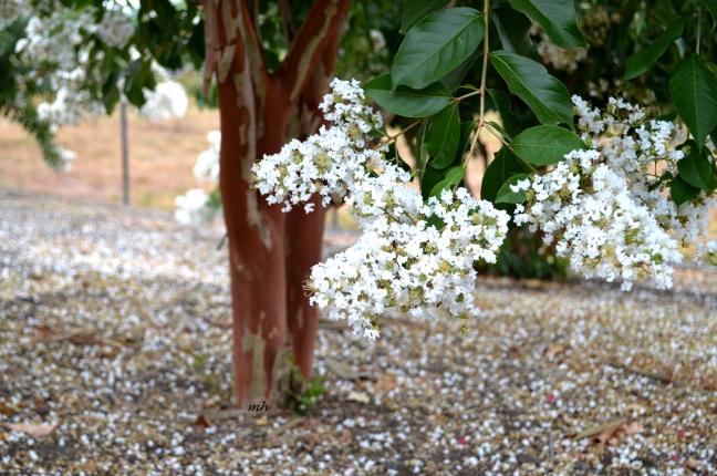 White Tu Vi tree 2016 -1