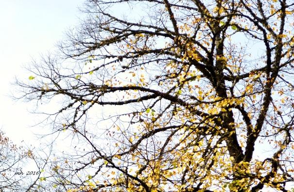 autumn-linden-leaves-4