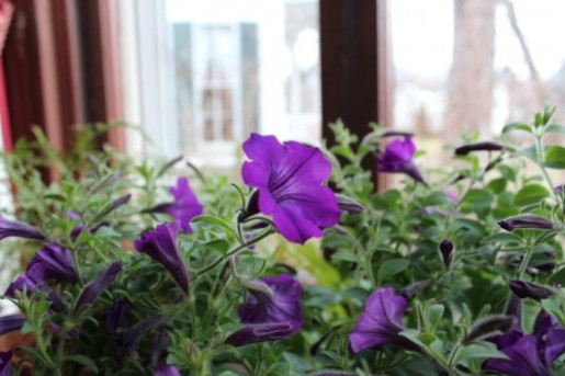 mini-bell-petunias-12