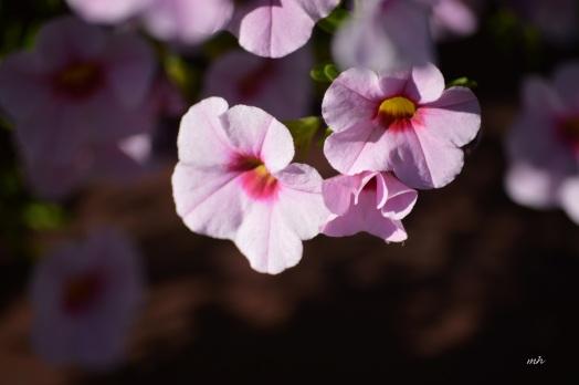 mini-bell-petunias-2a