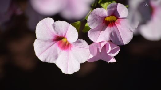 mini-bell-petunias-6a