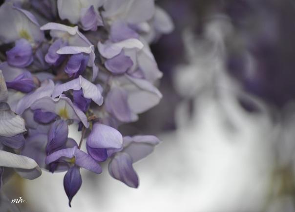 wisteria-tim-2014-24