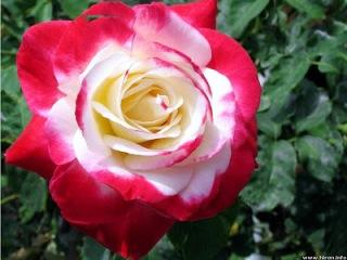 Cách tặng hoa hồng ngày valentine 01
