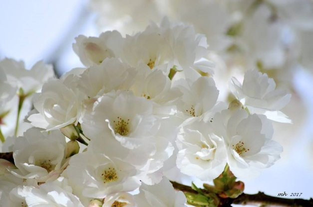 White Cherry Blossom 2017 (sm ) -a