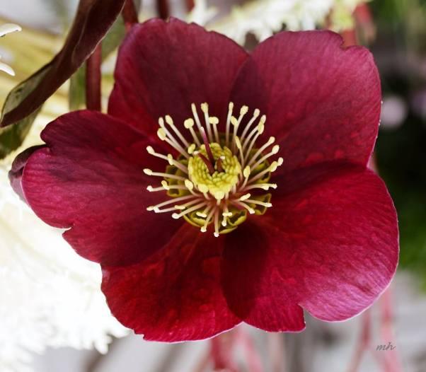cay-hoa-hong-giang-sinh-helleborus-niger-sm-19