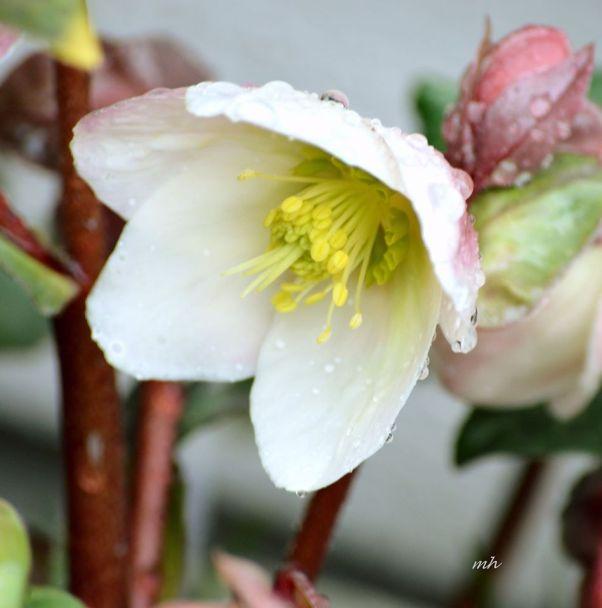 helleborus-niger-sm-7a