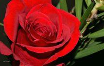 red-roses-feb-14