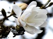 Royal Star Magnolia 2017 - sm2 -