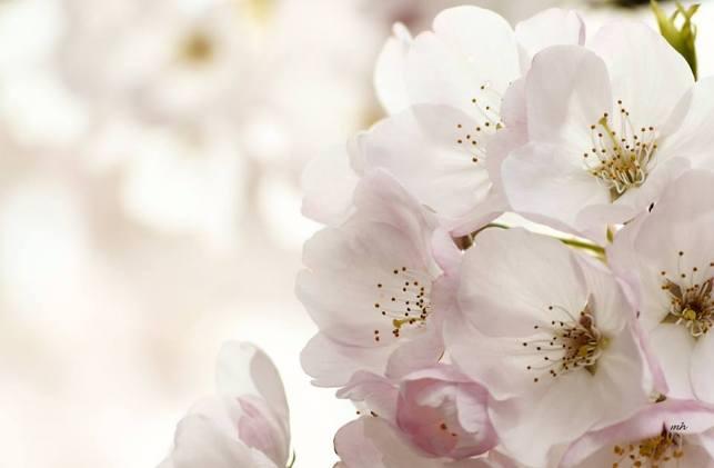 Cherry Blossom 2017 - 1 sm -