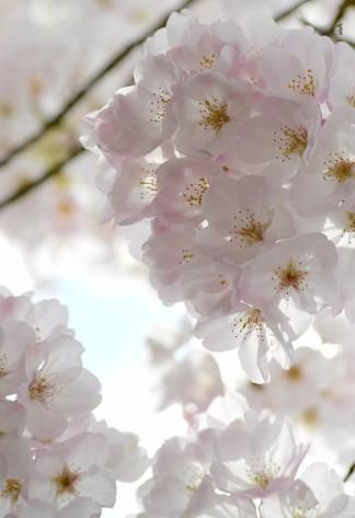 Cherry Blossom 2017 - 101sm -