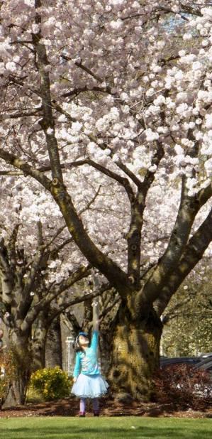 Cherry Blossom 2017 - 34sm -