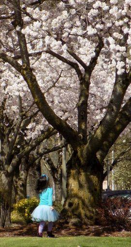 Cherry Blossom 2017 - 42sm -
