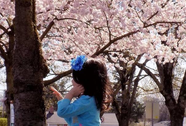 Cherry Blossom 2017 - 62sm -