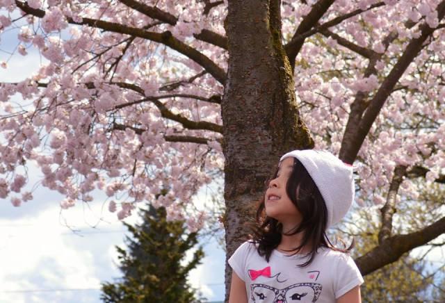 Cherry Blossom 2017 - 82sm -