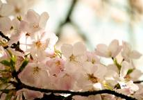 Cherry Blossoms 2017 (sm 4 )