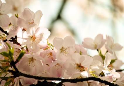 Cherry Blossoms 2017 (sm 4 )