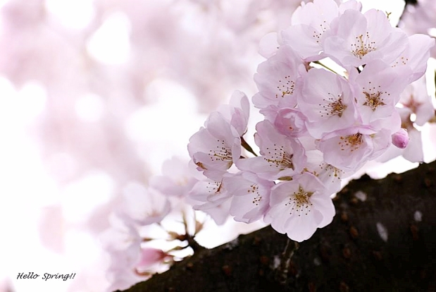 Cherry Blossoms 2017 (sm1)