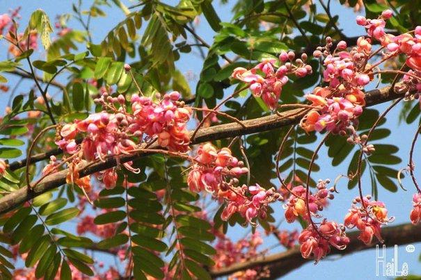 mùa hoa ô môi -3