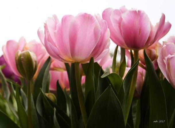 Tulip 2017 - (sm 2 )