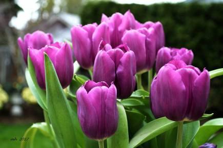 Tulip 2017 - (sm 68 )