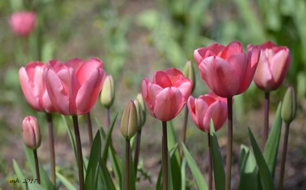 Tulip 2017 - (sm 8 )
