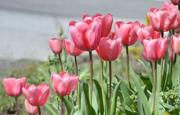 Tulip 2017 - (sm 86 )
