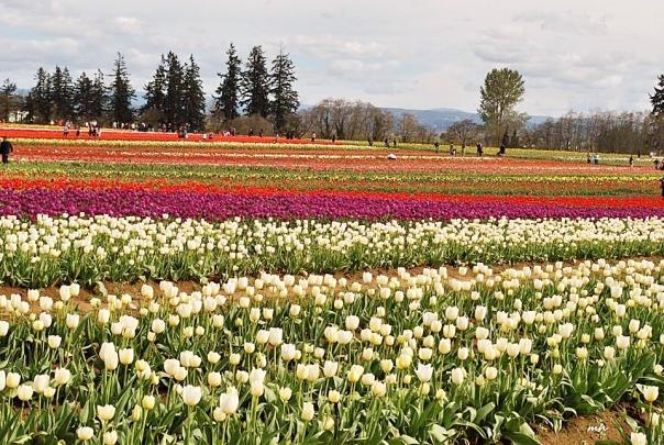 Tulip Garden 2015 - (sm 6 )