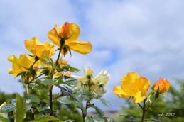 Yellow Rose 2017 - sm -