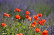 Lavender & Wildflower at Hood River Valley -sm 1 -