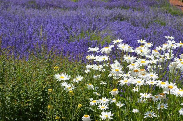 Lavender & Wildflower at Hood River Valley -sm 10 -