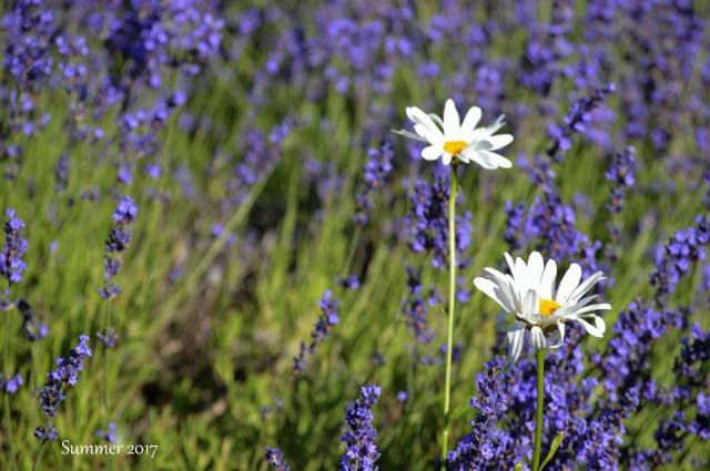 Lavender & Wildflower at Hood River Valley -sm 2 -