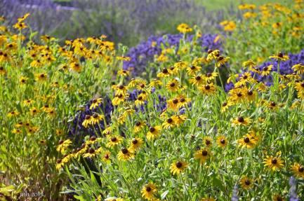 Lavender & Wildflower at Hood River Valley -sm 6-
